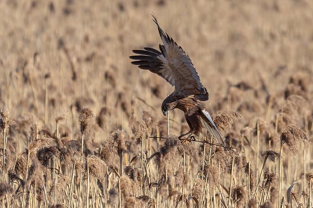 Nendrinė lingė / Circus aeruginosus / Marsh Harrier