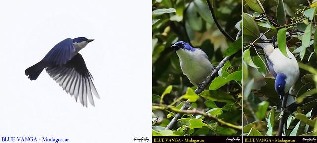 (Species #1223) BLUE VANGA - [ Antasibe National Park, Madagascar ]