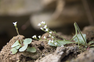 Saxifraga virginiensis, Standing Stone State Park, Tennessee 1