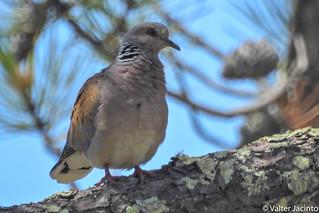 Rola-brava // Turtle Dove (Streptopelia turtur subsp. turtur)