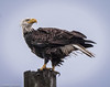 Bald Eagle (Haliaeetus leucocephalus) (EXPLORE June 2, 2018) - Gandys Beach, Downe, New Jersey by JFPescatore
