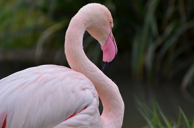Majestic flamingo