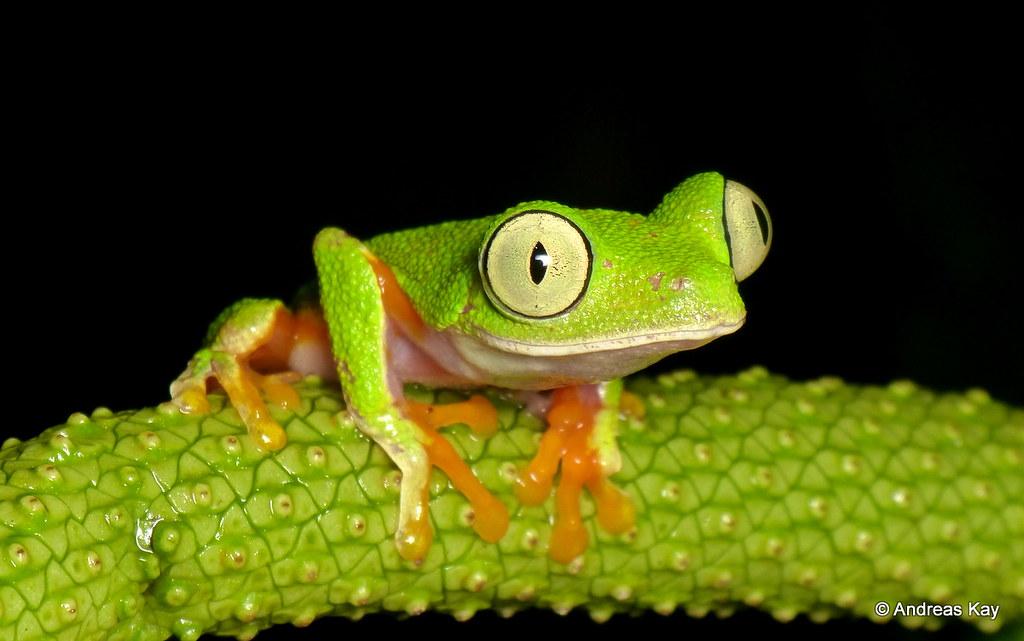 Treefrog, Agalychnis hulli