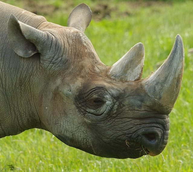 Black Rhino  (15)