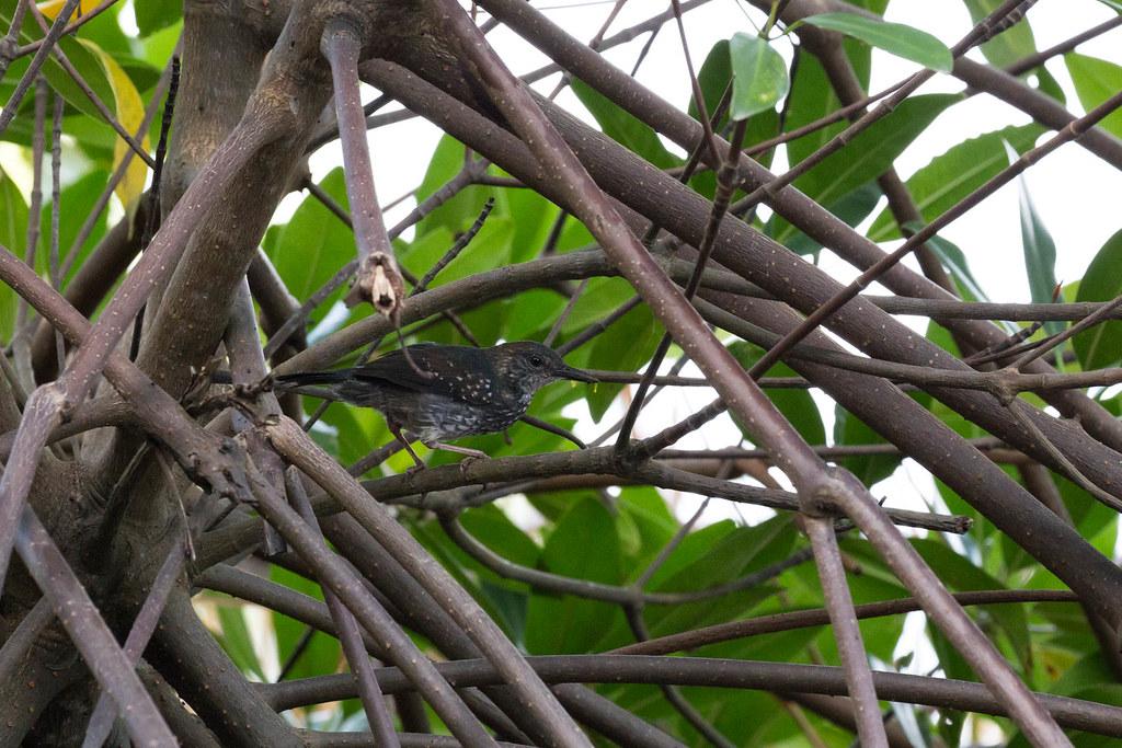 Sclateria naevia