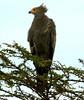 African Harrier Hawk - Gymnogène d'Afrique by charbonjoh