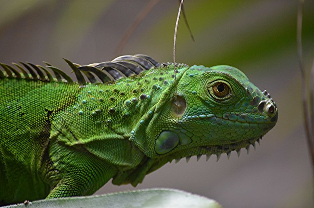 Iguana outside my bedroom window this morning!