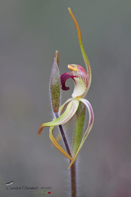 Clubbed Spider Orchid (Caladenia longiclavata) Foxes Lair