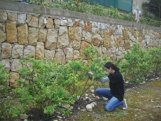 Sarah Inspect Blueberry Plants getting ready for season a Mar 25, 2015   by toutberryfarms
