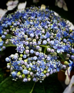 Blue flowers  #love #photooftheday #amazing #likes4follow #look #instalike #igers #picoftheday #instadaily #instafollow #followme #instagood #bestoftheday #instacool #instago #follow #colorful #flowers #flower #petal #petals #nature #beautiful #love #pret | by Mario De Carli