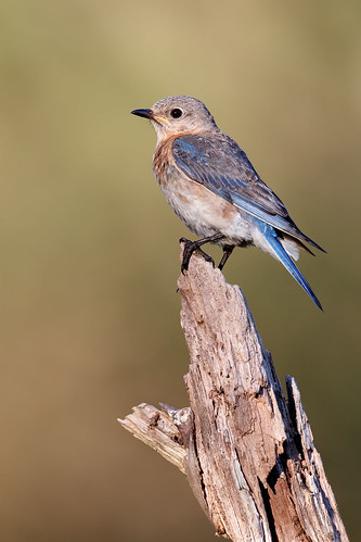 Female Bluebird at Sunrise | by Rob & Amy Lavoie
