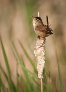 Swamp Wren | by Sheila Newenham