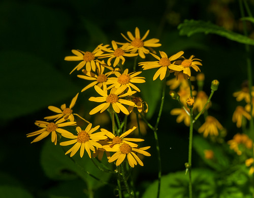 Golden Ragwort (Packera aurea)   by wackybadger