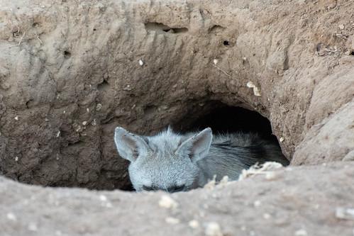 shy aardwolf | by alex1derr