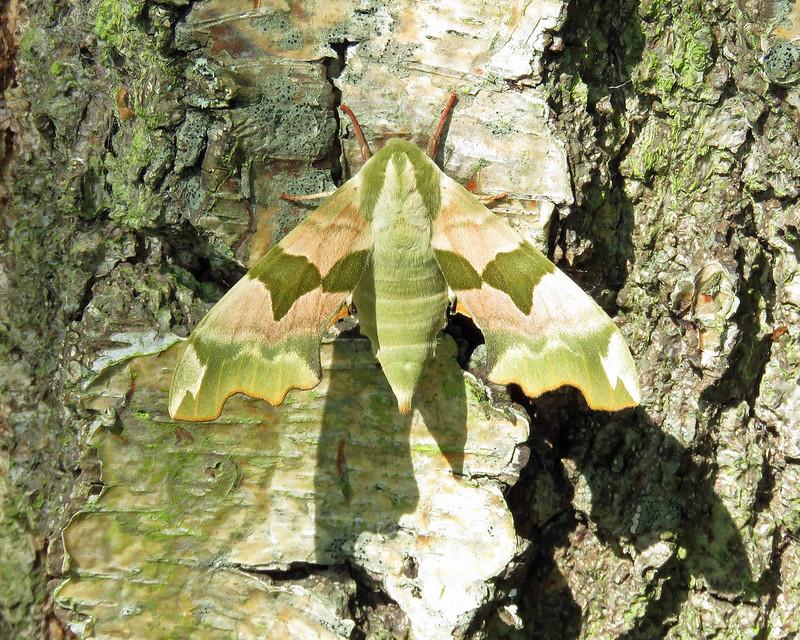 69.001 BF1979 Lime Hawk-moth - Mimas tiliae