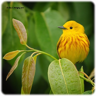 Yellow Warbler | by delrcher