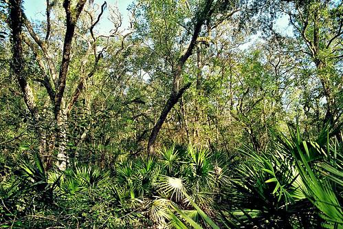 trees forest florida brush palmetto sawpalmetto