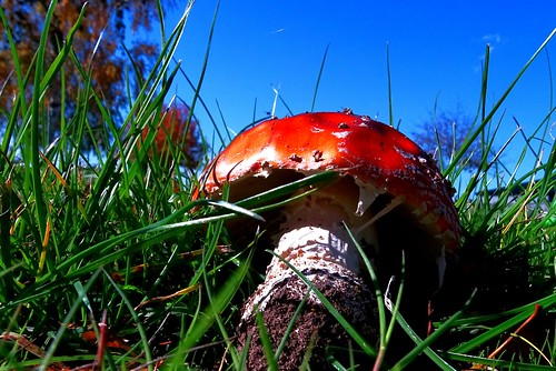 blue red sky green grass outside outdoors bright outdoor pov bluesky fungi toadstool greengrass lowpov lowpointofview flowrwolf 115picturesin2015 52picturesin2015 badmushmoonrising 11moonfor52in2015 85lowpovfor115in2015