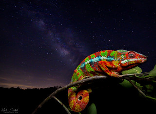 Panther Chameleon Starscape | by Nick Scobel