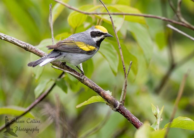 Golden Wing Warbler