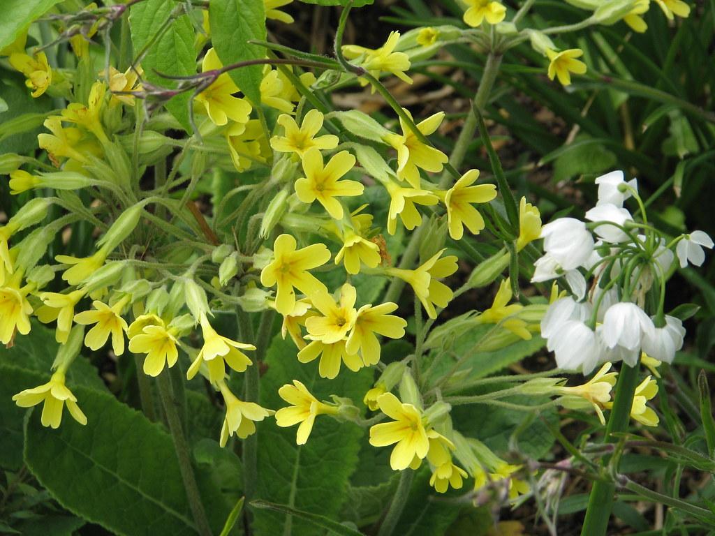 Primula elatior hybrid and Allium paradoxum normale