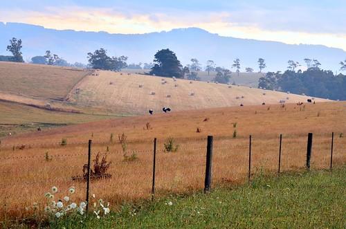 summer rural fence landscape evening nikon scenery farm farming australia victoria vic hay dairy haybales gippsland warragul paddocks lateafternoonlight dairycows strzeleckiranges mtworth westgippsland darnum d5100 mountworth nikond5100 phunnyfotos