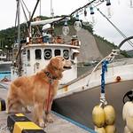 魚を釣って食べたいな!  ムリムリ、揺れると怖いくせに #漁船 #港 #漁港  #fishingboat #fishingport #fishboat  #dog #WebstaPets #dogs #retriever #ilovegolden_retrievers #犬 #レトリバー #ゴールデン #犬バカ部 #癒しワンコ #ふわもこ部 #ゴールデンレトリバー  #dogsofinstagram #ilovemydog #dogoftheday #dogsofinstaworld #mydogiscu