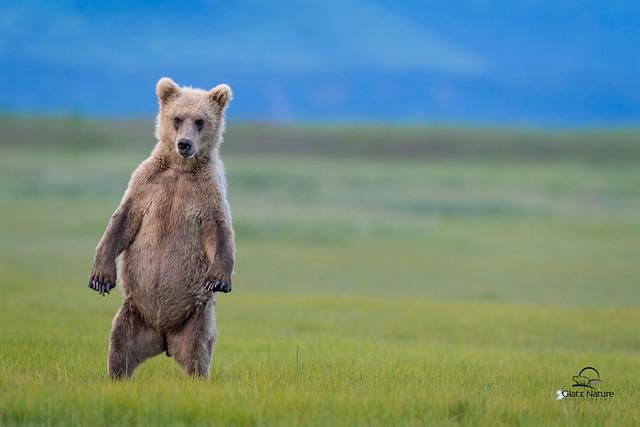 Standing, Staring Brown Bear