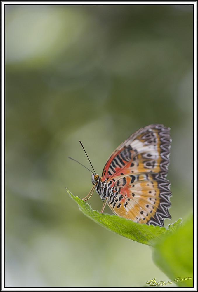 Cethosia cyane 01
