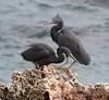 Eastern Reef Heron Point Peron WA by PJQuinn 1