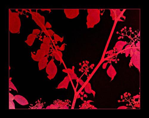 trees red art leaves photomanipulation rouge effects rojo berries map contemporaryart branches digitalart marcia computerart blackred redblack seeingred a elarte portess elartedigital marciaportess