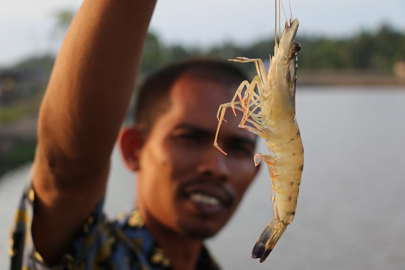 Aceh black tiger shrimp. Photo by Toby Johnson, WorldFish.