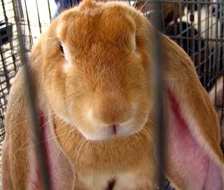 Long-eared rabbit | by SeeMidTN.com (aka Brent)