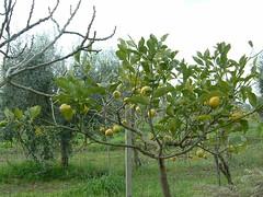 citrus tree | by Patrick Rasenberg