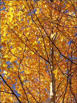 Poplar Tree in all its Autumn Glory | by Valley Vistas