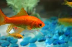 goldfish | by protographer23