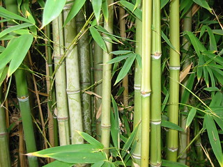 Bamboo forest, natural light   by pecos annie