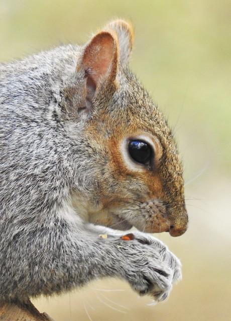 Grey Squirrel - Close-Up - Thornley Hide