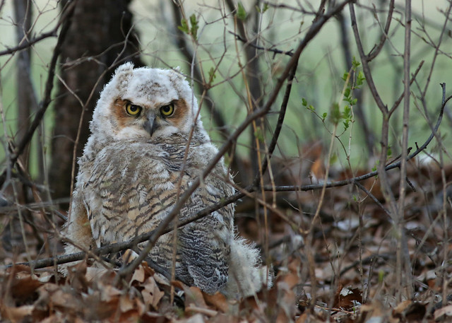 Great Horned Owlet...#1