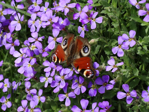 Peacock Butterfly on Aubretia | by stephanellidesigns
