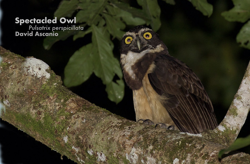Spectacled Owl, Pulsatric perspicillata_Ascanio_199A6728