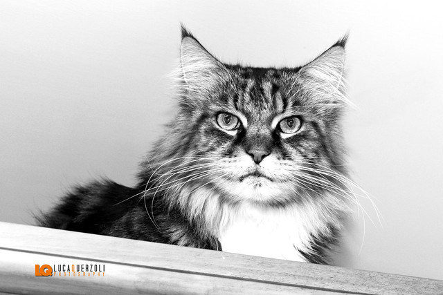 Maine Coon Crackerjac Giant