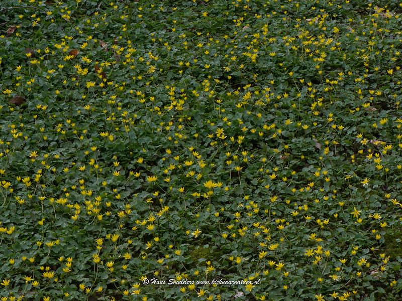 Speenkruid (Ficaria verna)-618_1007