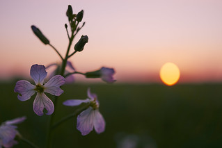 flowers & sunset | by Jos Mecklenfeld
