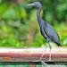 Little blue heron - Aigrette bleue - Garza azul chica - Egretta caerulea