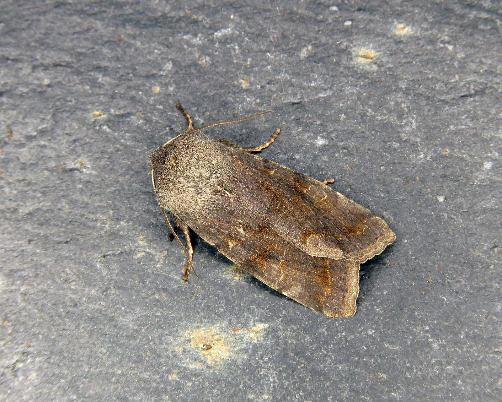 73.242 Clouded Drab - Orthosia incerta
