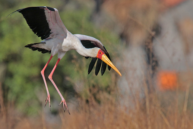 YELLOW-BILLED  STORK // MYCTERIA  IBIS (100cm)