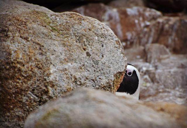 Hidden Penguin