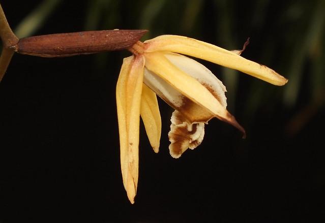 Powdery flower orchid (Coelogyne pulverula) flower