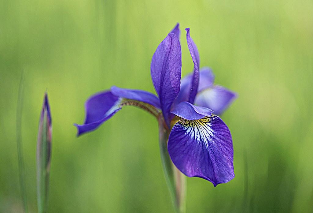 Fleur De Lys 7 Days With Flickr Fridays Flora Thank Yo